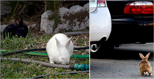 Feral rabbits in Okaloosa Island, Florida