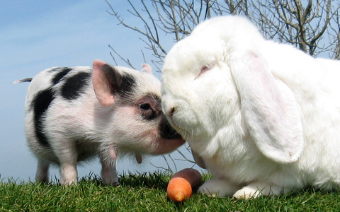 William, the miniature piglet, and Charles, the giant rabbit