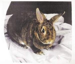 Benjamin the therapy rabbit