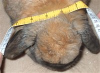 Rabbit getting ears measured