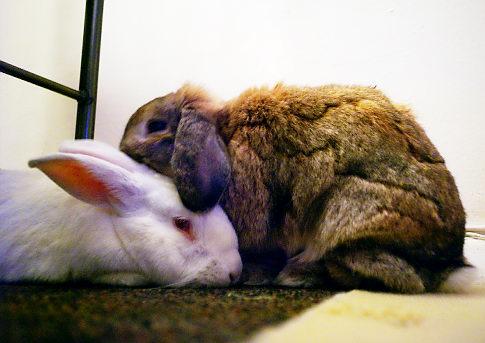 Two rabbits bonding