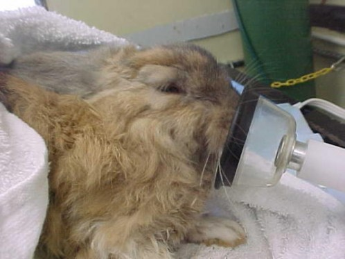 Phoenix, the rabbit given CPR after suffering from smoke inhalation