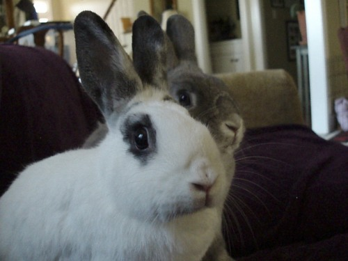 Two adoptable rabbits
