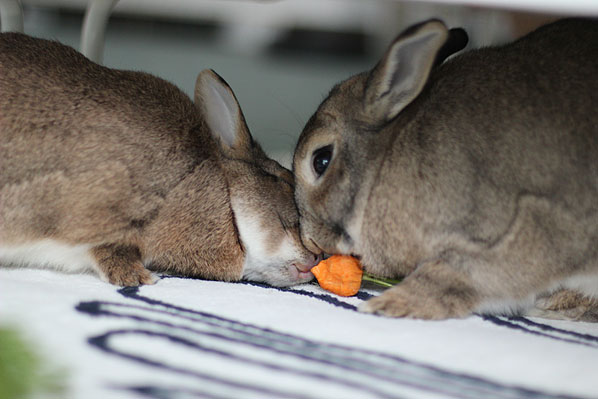 Rabbits sharing a carrot