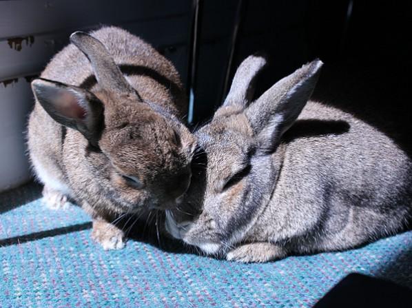 Rabbits grooming