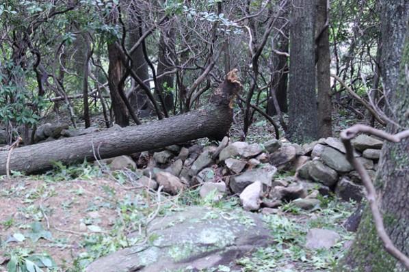 Fallen tree from Hurricane Irene