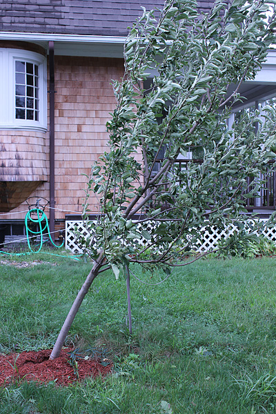 Slanted apple tree after Hurricane Irene