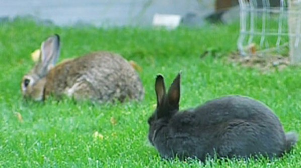 Canmore bunnies