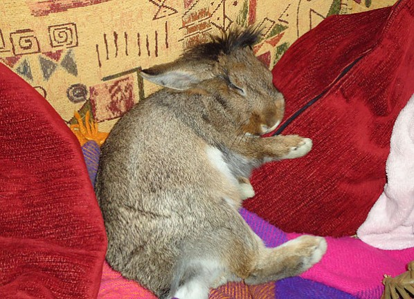 Lionhead rabbit sleeping