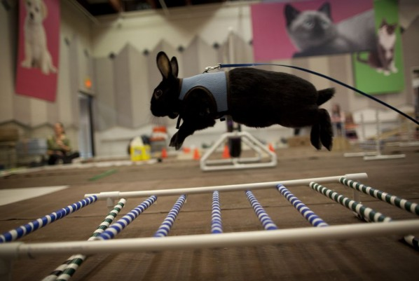 Rabbit jumping over hurdle