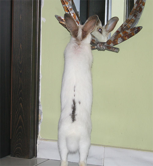 Rabbit looking in mirror