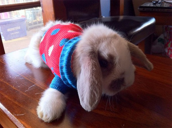 Rabbit in sweater