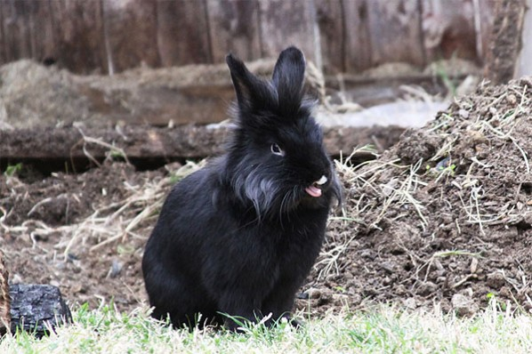 Rabbit sticking out tongue