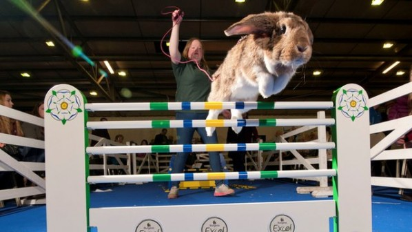 Rabbit jumping champion at Harrogate