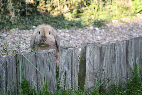 Rabbit looking over fence