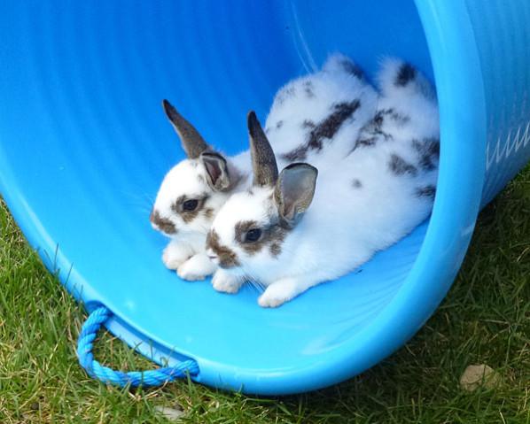 Rabbits in bucket
