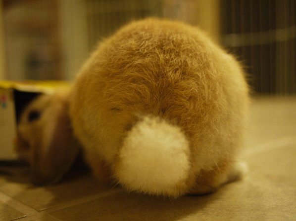 Rabbit tail