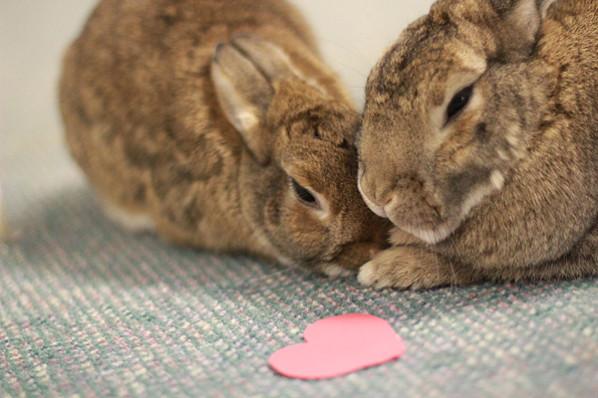 Rabbits snuggling