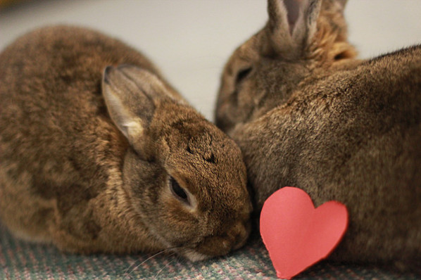 Rabbits snuggling