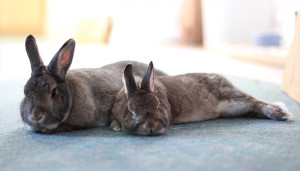 Rabbits lying down