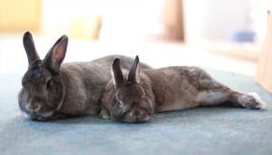 Rabbits lying down