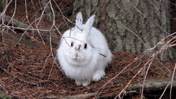 This snowshoe hare is a like a sitting duck for predators. Credit: L.S. Mills Research Photo