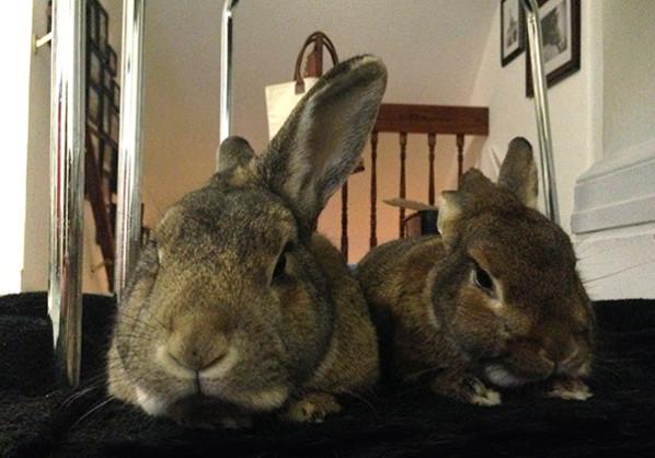 Two rabbits snoozing