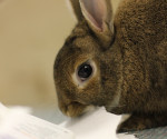 Rabbit chewing paper
