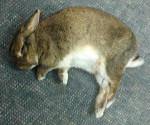 Conejo durmiendo