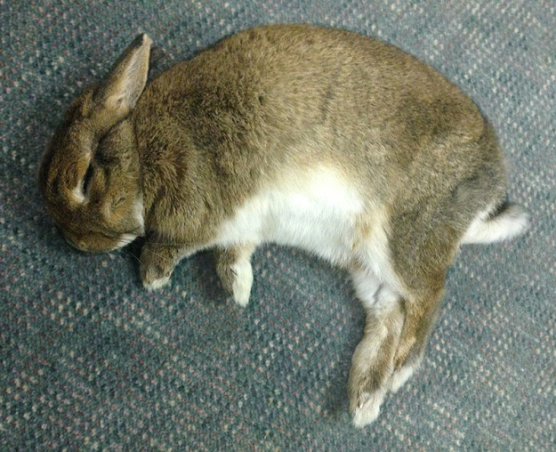 Sleeping rabbit