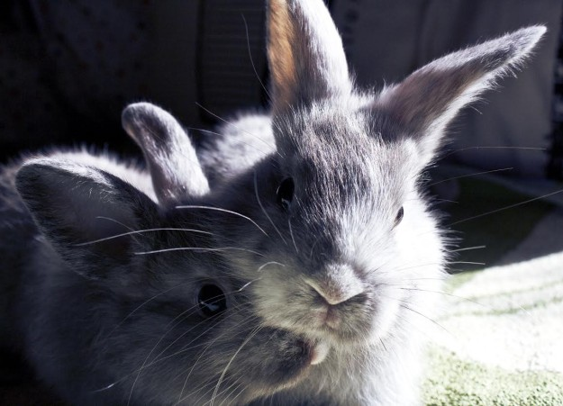 Two rabbits relaxing