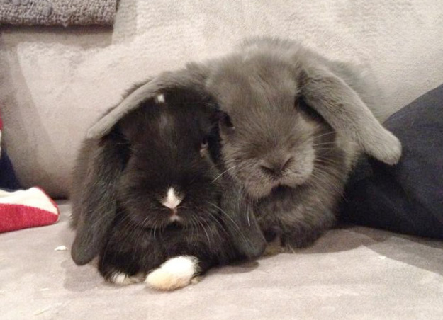 Two rabbits on couch.