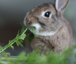 Rabbit eating greens