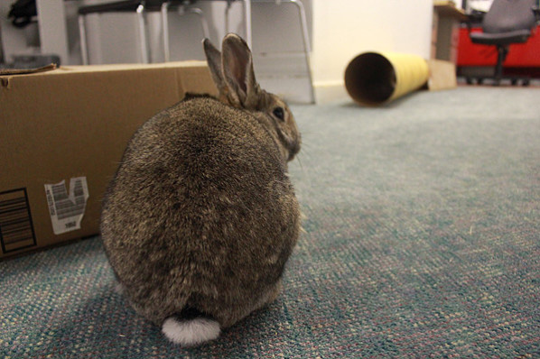 Rabbit with cardboard box and tunnel