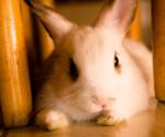 Conejo acostado