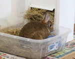 Rabbit in litter box