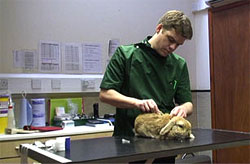 Vet giving rabbit myxomatosis vaccine