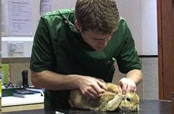 Rabbit getting myxomatosis vaccine