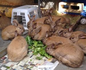 Palomino rabbits at B.U.N.S.