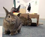 Conejos dentro jugando