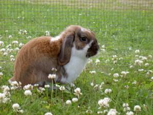 Rabbit outside in run