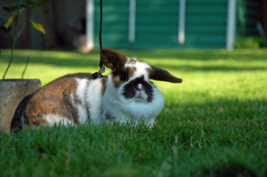 Rabbit outside on leash