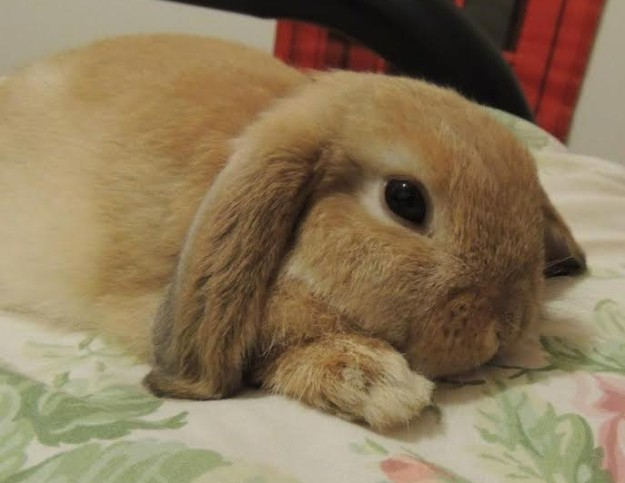 Lop-eared rabbit on bed.