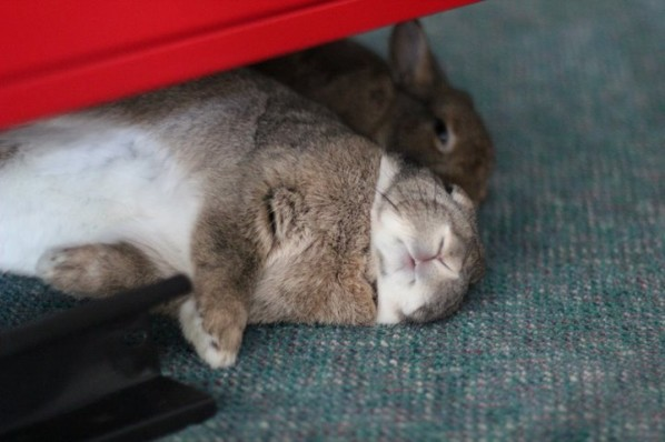 Rabbits flopped together