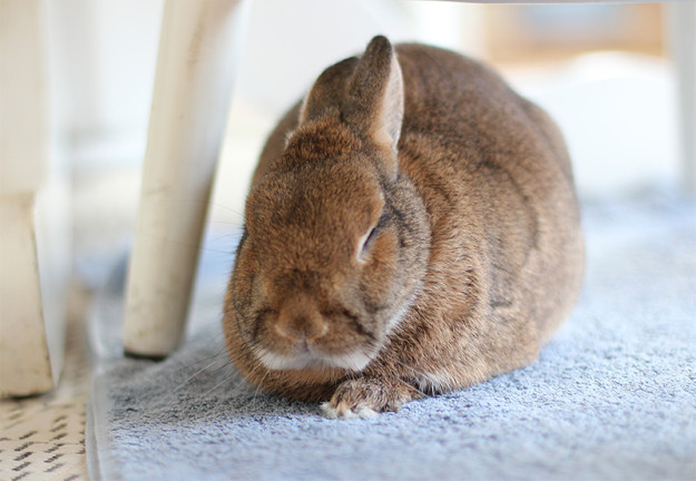 Rabbit under table