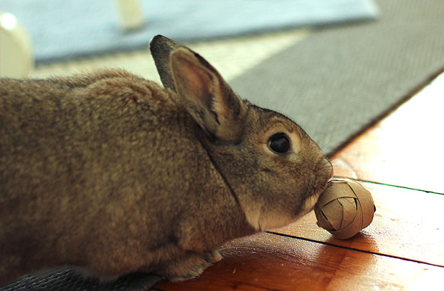 Rabbit with  homemade treat ball logic toy.