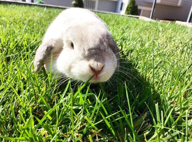 Lop-eared rabbit in grass.
