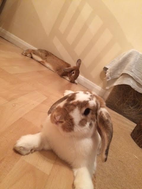 Two rabbits lying down