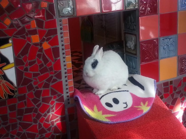 Hotot rabbit sitting down.