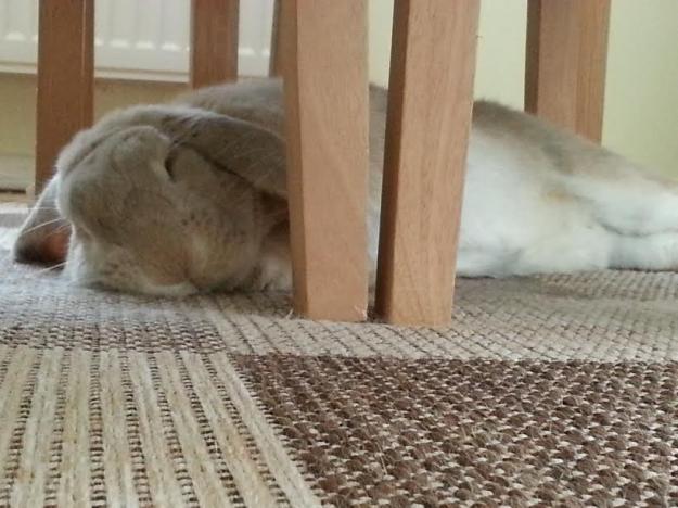 Rabbit lying down.